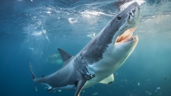 Žralok bílý: Velký skok