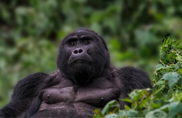 Go za Gorilou!